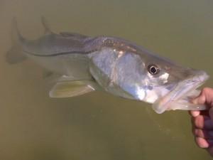 Fly Fishing for Snook